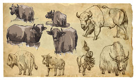 Animals, theme: BOVIDAE (cows, bisons, yak, buffalo). Vector pac Royalty Free Stock Image