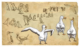 Animals, theme: WATER (and sea) BIRDS - vector pack. WATER (and sea) BIRDS. Collection of an hand drawn illustrations (originals, no tracing). Drawings are Royalty Free Stock Photos