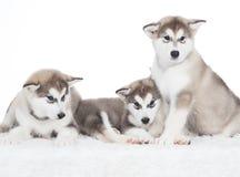 Animals. Three puppy Husky white isolated! Royalty Free Stock Photography