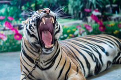 Tiger gape Royalty Free Stock Image
