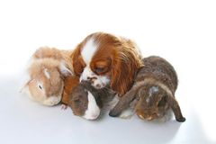 Animals together. Real pet friends. Rabbit dog guinea pig animal friendship. Pets loves each other. Cute lovely cavalier. King charles spaniel puppy cavy lop Stock Images