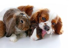 Animals together. Real pet friends. Rabbit dog guinea pig animal friendship. Pets loves each other. Cute lovely cavalier. King charles spaniel puppy cavy lop Royalty Free Stock Photos