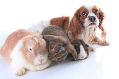Animals together. Real pet friends. Rabbit dog guinea pig animal friendship. Pets loves each other. Cute lovely cavalier king char. Les spaniel puppy cavy lop Stock Photo