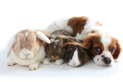 Animals together. Real pet friends. Rabbit dog guinea pig animal friendship. Pets loves each other. Cute lovely cavalier king char. Les spaniel puppy cavy lop Royalty Free Stock Image