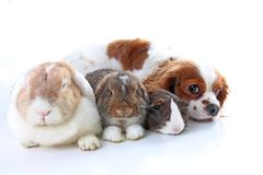 Animals together. Real pet friends. Rabbit dog guinea pig animal friendship. Pets loves each other. Cute lovely cavalier. King charles spaniel puppy cavy lop Royalty Free Stock Photography