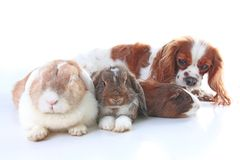Animals together. Real pet friends. Rabbit dog guinea pig animal friendship. Pets loves each other. Cute lovely cavalier. King charles spaniel puppy cavy lop Stock Photos