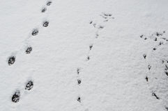 Animals tracks in the snow. Royalty Free Stock Photo