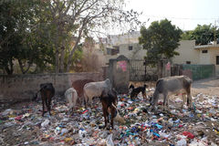 Animals in trash heap in in Jaipur. Rajasthan, India Stock Photography