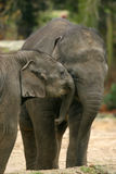 Animals: two elephants hugging Royalty Free Stock Photos