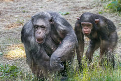 Animals two females and a baby chimpanzee Stock Images