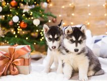 Animals. Two puppy Husky, gift box, Christmas tree, close up. Two puppy Husky dog with amazing gift box in background Christmas tree lights. New Year holiday Stock Photos