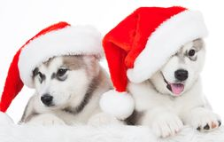 Animals. Two puppy Husky white isolated, Christmas hat! Royalty Free Stock Images