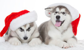 Animals. Two puppy Husky white isolated, Christmas hat! Stock Photos