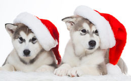 Animals. Two puppy Husky white isolated, Christmas hat!. Wonderful two happy puppy Husky, has red Christmas hat. New Year holiday card. Little Santa Claus Royalty Free Stock Photography