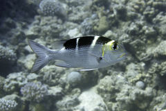Animals underwater - Bream Fish Stock Photography