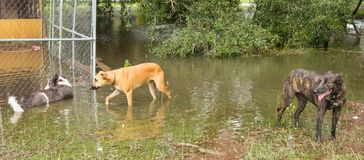 Three dogs inspecting flooding damage after a hurricane in florida. Animals wading in water left by the catastrophic storm irma during the summertime Stock Images