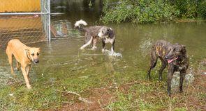 Three dogs inspecting flooding damage after a hurricane in florida. Animals wading in water left by the catastrophic storm irma during the summertime Stock Photos