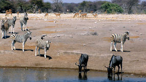 Animals at waterhole Royalty Free Stock Images