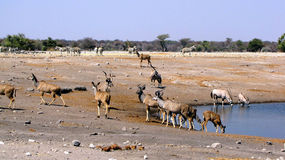 Animals at waterhole Royalty Free Stock Image