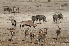 Animals at a waterhole in Etosha Park in Namibia. In Africa Royalty Free Stock Photography