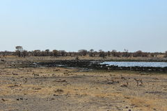 Animals at a waterhole in Etosha Park in Namibia Royalty Free Stock Image
