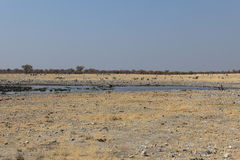 Animals at a waterhole in Etosha Park in Namibia Stock Images
