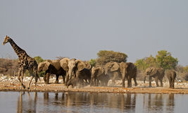 Animals at waterhole. A Group of Elephants and one Giraffe at waterhole stock photos