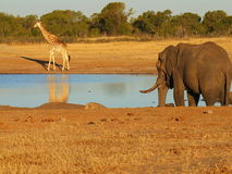 Animals at the waterhole. Hwange National Park, Zimbabwe Royalty Free Stock Photo