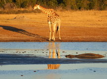 Animals at the waterhole. Hwange National Park, Zimbabwe Royalty Free Stock Image