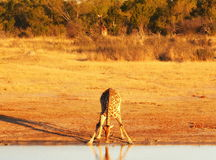 Animals at the waterhole. Hwange National Park, Zimbabwe Stock Photo