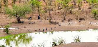 Animals at Watering Hole Victoria Falls Safari Lodge. In Zimbabwe South Africa Royalty Free Stock Image