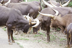 Animals watusi family Royalty Free Stock Image