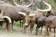 Animals watusi family Royalty Free Stock Photos