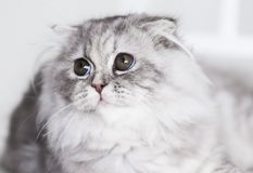 Animals. White gray fluffy cat, white background Royalty Free Stock Image