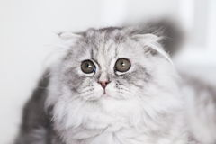 Animals. White gray fluffy cat, white background Royalty Free Stock Photos