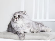 Animals. White gray fluffy cat, white background Stock Images