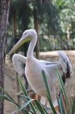 Animals. White Stork at Limassol Zoo, Cyprus enjoying the nice surrounding Stock Photography