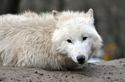 Animals - white wolf Royalty Free Stock Images