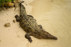 Animals in wild. Crocodile basking in the sun,Colombia Royalty Free Stock Images