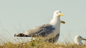 Animals In The Wild: Seagulls. Close-up shot of  seagulls in the wild stock video footage