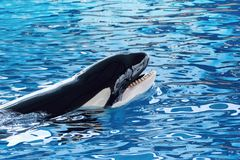 The killer whale or orca Orcinus orca stock photo