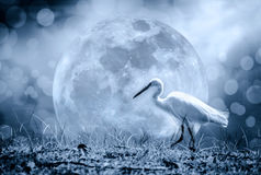Animals in Wildlife - White Egrets. Outdoors. Dark tone. Animals in wildlife. Side view of white egret walking on full moon and abstract blurred bokeh Royalty Free Stock Images