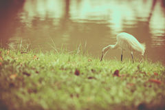 Animals in Wildlife - White Egrets. Vintage picture style. Outdo Stock Image