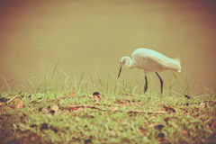 Animals in Wildlife - White Egrets. Vintage picture style. Outdo Royalty Free Stock Photography