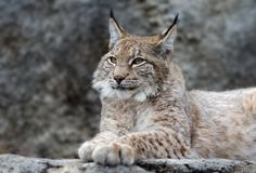 Young lynx portrait Royalty Free Stock Photos