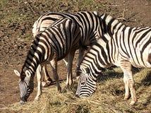 Animals - zebra Royalty Free Stock Images