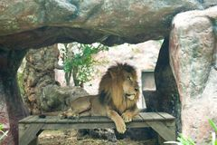 Animals at the zoo. Lion sitting Stock Image