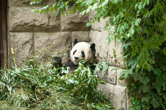 Animals in the zoo in Beijing. In the zoo in China there are many exotic animals like white tiger, panda bear, kangaroo, monkeys, ostrich etc Royalty Free Stock Photography