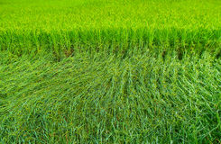 Animate rice. Animate green rice field in maehongson Royalty Free Stock Images
