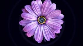 Animatie van het bewegen van bloemknop Grote knop van mooie realistische bloemvlotters op zwarte achtergrond die op water lijken stock foto